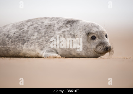 Grey seal pup Halichoerus grypus on beach at Donna Nook - Stock Photo