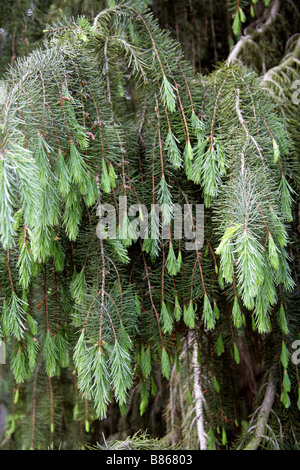 Brewer Spruce aka Brewer's Weeping Spruce, Picea breweriana, Pinaceae - Stock Photo