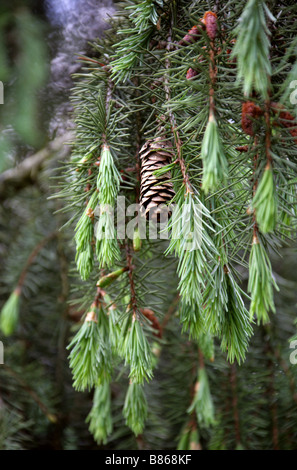 Brewer Spruce Cone aka Brewer's Weeping Spruce, Picea breweriana, Pinaceae - Stock Photo