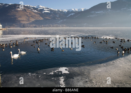 Zell am See Austria EU January Swans and wild fowl in a small area of clear water in the frozen Zeller See lake - Stock Photo