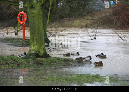some ducks gather under a tree next to the river chelmer that has burst its banks and is flooding the essex town - Stock Photo
