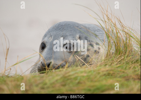 Grey Seal Halichoerus grypus pup resting in long grass at Donna Nook - Stock Photo