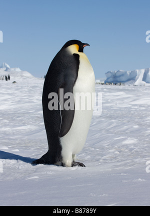 Emperor penguin en route to rookery at Snow Hill Island, Antarctica - Stock Photo