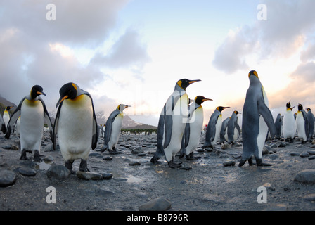 King penguin colony Aptenodytes patagonicus Salisbury Plain South Georgia - Stock Photo