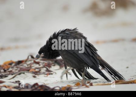 Striated Caracara Phalcoboenus australis Carcass Island Falkland Islands - Stock Photo