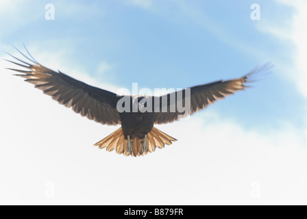 Striated Caracara Phalcoboenus australis in flight West Point Island Falkland Islands - Stock Photo