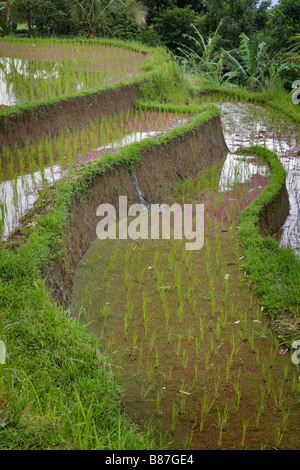 Irrigation of rice terraces in Bali Indonesia - Stock Photo