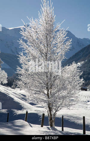 Pinzgau Region Austria EU January Winter scene of a tree with hoar frost on branches silhouetted against a cloudless - Stock Photo