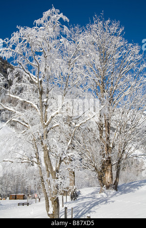 Pinzgau Region Austria EU January Winter scene of trees with hoar frost on the branches silhouetted against a cloudless - Stock Photo