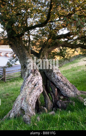 Aged Hawthorn tree covered in algae - Stock Photo