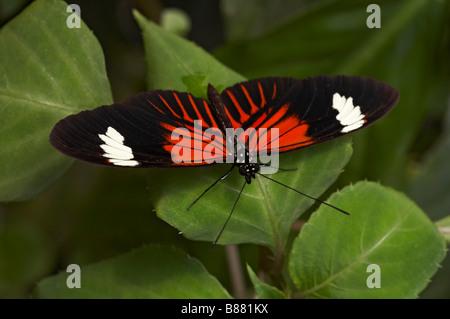 Postman Heliconius melpomene butterfly at Mindo, Ecuador in September - Stock Photo