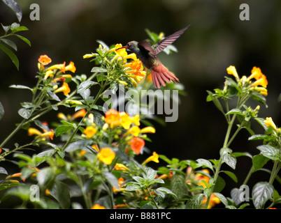 Rufous tailed Hummingbird, Amazilia tzacatl, feeding from Multicoloured Lantana, Lantana camara, at Mindo, Ecuador - Stock Photo
