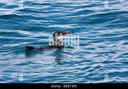 Galapagos Flightless cormorant, Nannopterum harrisi, with fish in bill at Isabela Island, Galapagos Islands, Ecuador - Stock Photo