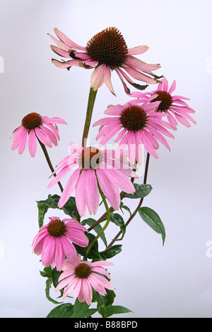 Sonnenhut Purpur Purple Coneflower 16 - Stock Photo