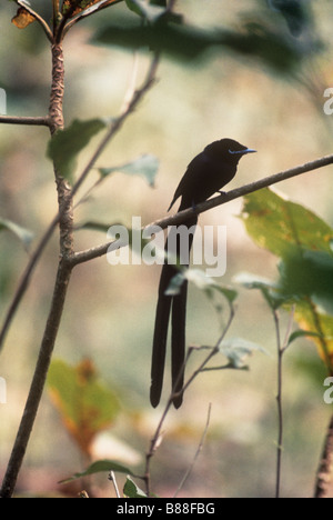 Black paradise flycatcher, a rare bird--this one male--endemic to La Digue island in the Seychelles group [Terpsiphone - Stock Photo