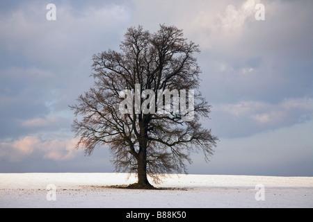 Oak tree in winter snow near Cranbrook Kent UK - Stock Photo