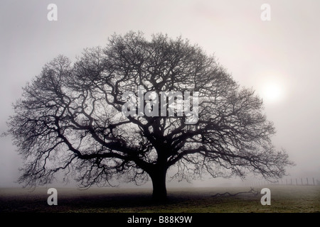 Oak tree in thick fog near Sandhurst Kent UK - Stock Photo