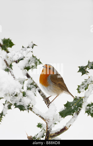 ROBIN Erithacus rubecula PERCHING IN SNOW COVERED HOLLY - Stock Photo