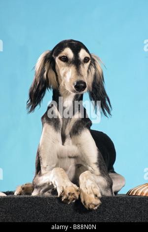 Saluki dog - lying - cut out - Stock Photo