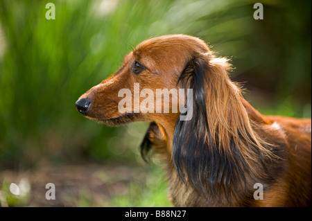 long-haired miniature dachshund dog - portrait - Stock Photo