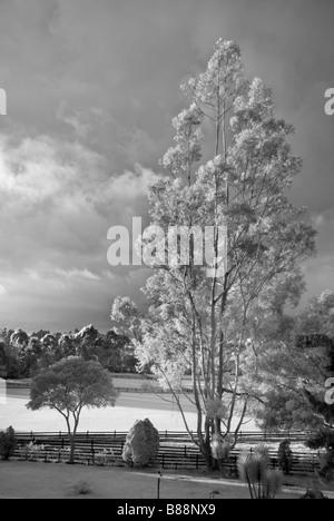 Eucalyptus tree and polo grounds la Sabana near Bogota Colombia - Stock Photo