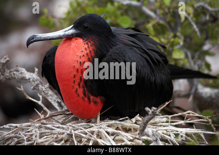 male Magnificent frigatebird, Fregata magnificens, sat on nest at North Seymour Islet, Galapagos, Ecuador in September - Stock Photo