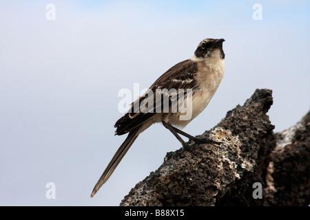 Mockingbird, Nesomimus parvulus, stood on rocks at Darwin Bay Beach, Genovesa Island, Galapagos Islands, Ecuador - Stock Photo