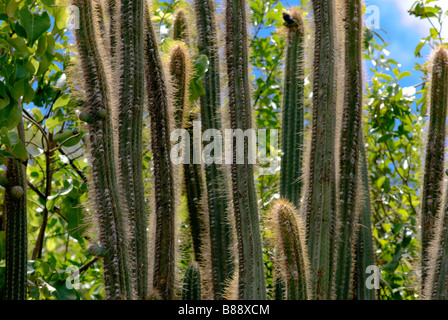 Dense thickets of cactus in Islands of Antigua and Barbuda - Stock Photo