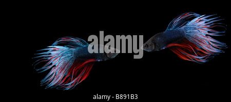 Two siamese fighting fish (betta splendens) on black background - Stock Photo