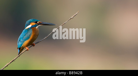 Common European Kingfisher perched on a stick over a water well in the indian countryside. Andhra Pradesh, India - Stock Photo
