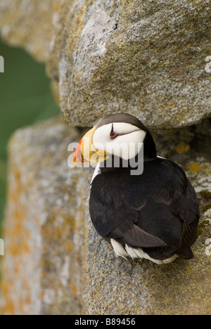 Horned Puffin Fratercula corniculata walrus islands state game sanctuary Round Island Alaska - Stock Photo