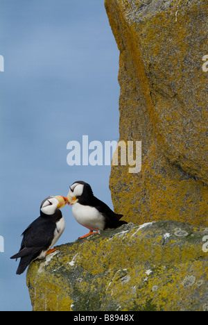Horned Puffins Fratercula corniculata walrus islands state game sanctuary Round Island Alaska - Stock Photo