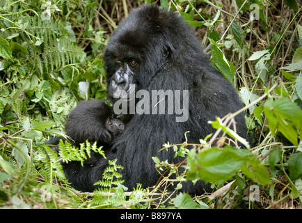 Mother feeds baby mountain gorilla gorilla gorilla beringei in the Volcanoes National Park in northwestern Rwanda - Stock Photo