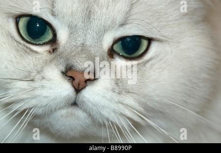 Portrait of a Persian Chinchilla - Stock Photo