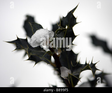 A close up photograph of a branch of holly covered with ice in the winter snow - Stock Photo