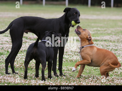 greyhound, with a tennis ball in its mouth, with two Staffordshire bull terriers - Stock Photo