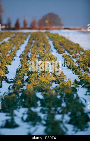 purple sprouting broccoli snow vegetable field - Stock Photo
