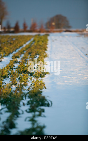 purple sprouting broccoli growing in field in the snow - Stock Photo