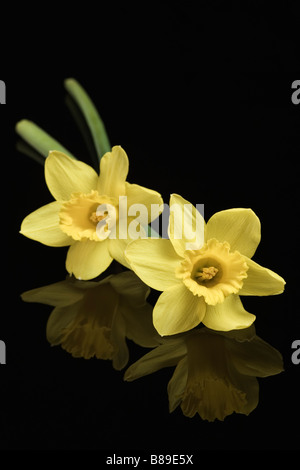 Two yellow Daffodils on dark background - Stock Photo