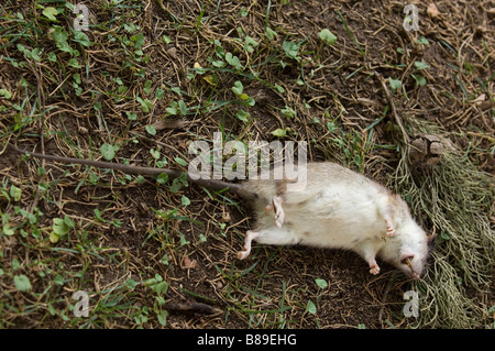 Dead rat in the garden - Stock Photo