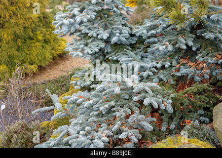 ABIES PROCERA GLAUCA PROSTRATA AT RHS WISLEY GARDEN UK - Stock Photo