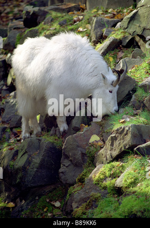 A Mountain Goat Grazes the Mountainside perched atop large rocks - Stock Photo