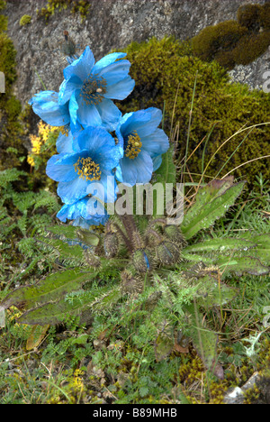 Meconopsis horridula (Himalayan blue poppy) grows at about 4500 m near the high-altitude lake Dudh Kund, Khumbu - Stock Photo