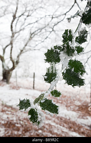 Holly leaves covered in frost and snow Wales UK - Stock Photo
