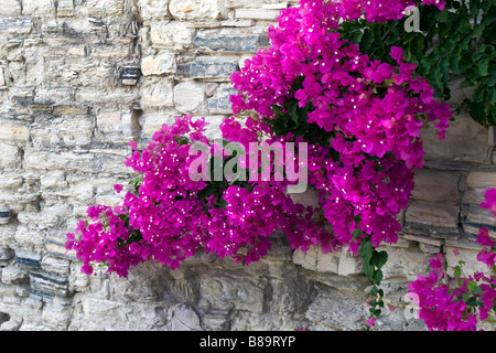 Stone tiled wall covered with blooming magenta flowers (Bougainvillea). Lefkara, South Cyprus - Stock Photo