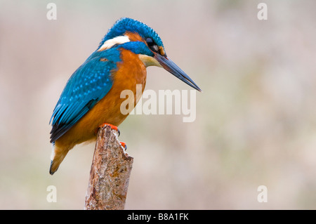 Common Kingfisher on perch - Stock Photo