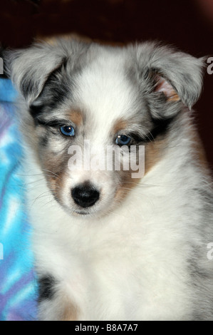 Portrait of eight week old Sheltie puppy. - Stock Photo