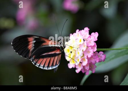 Postman Heliconius melpomene butterfly feeding on Verbena flowers at Mindo, Ecuador in September - Stock Photo