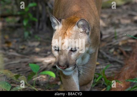 PUMA or COUGAR (Felis concolor) walking along rainforest trail. Belize (captive). - Stock Photo