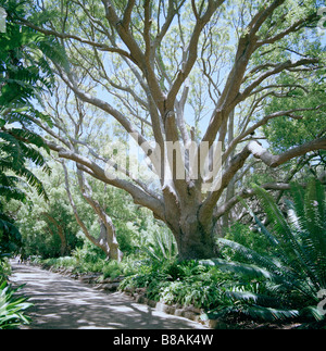Camphor Avenue at Kirstenbosch Botanical Gardens in Cape Town in South Africa in Sub Saharan Africa. Biology Horticulture - Stock Photo
